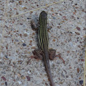 Texas spotted whiptail