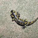 Portuguese Fire Salamander