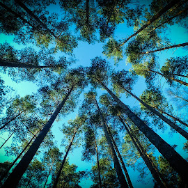 Tall trees by Remigijus Drevinskas - Nature Up Close Trees & Bushes ( sky, blue, trees, forest, tall,  )