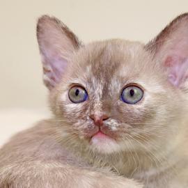 Innocence by Mia Ikonen - Animals - Cats Kittens ( female, innocent, finland, young, burmese,  )