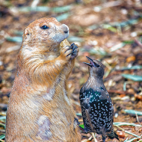 Can You Spare A Nut? by Bill Tiepelman - Animals Birds ( peanut, starling, forest park, arch, saint louis zoo, feathered friend, saint louis, interaction, feathers, ground squirrel, bird, prairie dog, missouri, zoo, beak, nut, brown, rodent, dog, animal )