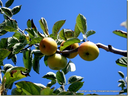 Apples on the Tree at Gizdich Ranch