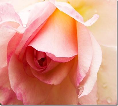 rose45