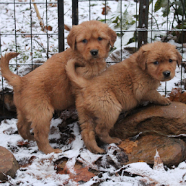 The Blues Brothers by Ellee Neilands - Animals - Dogs Puppies ( canine, puppies, pet, cute, dog, golden retriever )