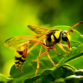 Black And Yellow by Mursalat Mustaring - Novices Only Macro ( sorowako, macro, insect, photooftheday,  )