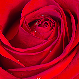 Rose by Sue Matsunaga - Novices Only Flowers & Plants (  )