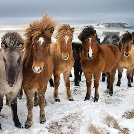 by Kristinn Gudlaugsson - Animals Horses