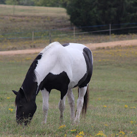 Horse by Amara Dempsey - Animals Horses ( animals, nature, novice, horses, horse, nature photography, nature photo, animal,  )