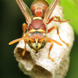 wasp by Aris Kh Kh - Animals Insects & Spiders ( home, wasp, yellow )