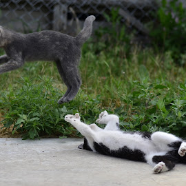 by Terra Linn - Animals - Cats Playing (  )