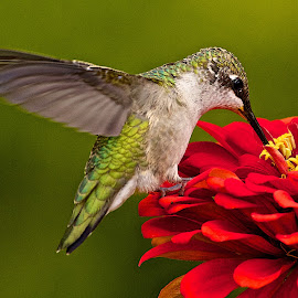 Hummingbird 2 by Dan Ferrin - Animals Birds ( bird, nature, hummingbird, wildlife, birds, humming bird )