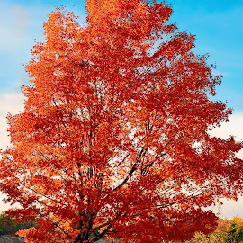 Fire Tree by Darya Morreale - Nature Up Close Trees & Bushes ( red, tree, autumn, fire red, fall, color, colorful, nature )