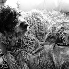 Ruger by Donald Henninger - Novices Only Pets ( pet portrait, black and white, relaxed, pet, dog portrait, dog, attention, master, portrait, animal )