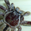 Common Huntsman Spider
