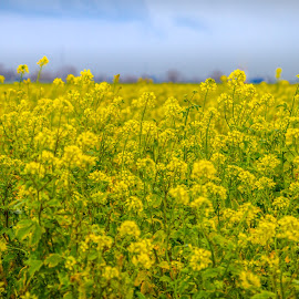 Colza field by Arti Fakts - Nature Up Close Gardens & Produce ( field, colza, yellow, artifakts, flowers, flower,  )