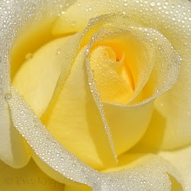 A single rose for one last kiss. by Eva Krejci - Flowers Single Flower ( water, rose, macro, yellow, flower, droplets )