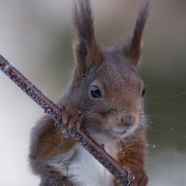 Squirrel by Allan Wallberg - Animals Other