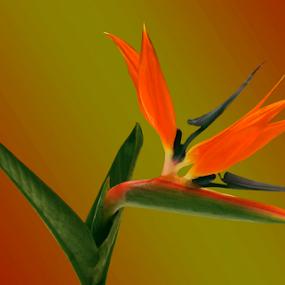 Bird of Paradise Bloom by Joseph Vittek - Flowers Single Flower ( plant, orange, red, green, tropic, yellow, bird of paradise, flower )