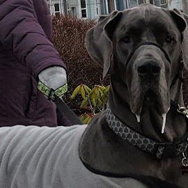 GREAT DANE by Gary Colwell - Animals - Dogs Portraits ( grey, dog, large, great dane,  )