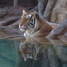 Majestic Tiger by Sue Clapham - Animals Lions, Tigers & Big Cats