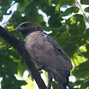 Changeable Hawk - eagle (dark morph)