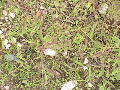 Digitaria sanguinalis, Bluthirse, Blutrote Fingerhirse, crab finger grass, Crabgrass, Dewgrass, digitaire sanguine, garrachuelo, hairy crab grass, hairy crabgrass, large crabgrass, manne terrestre, milhã-digitada, panic sanguin