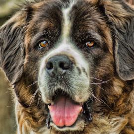 Woof by Sheen Deis - Animals - Dogs Portraits ( dogs, pets, dog portrait, st. bernard,  )