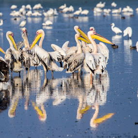 Pelican by Monish Kumar - Animals Birds ( sarovar, nal, gujarat, pelicans, india,  )
