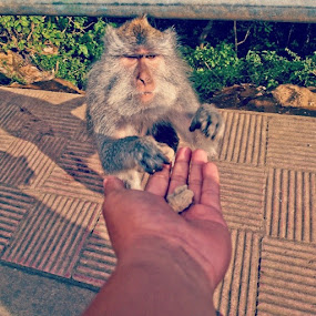 by Putu Purnawan - Animals Other Mammals ( monkey )