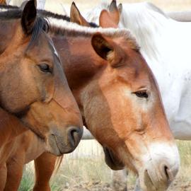Bored by Dawn Schriebl Hartley - Animals Horses