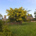 Common Laburnum