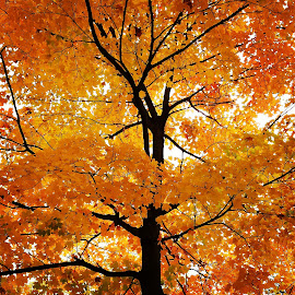 Fire Tree by Mike Saxby - Nature Up Close Trees & Bushes ( colourful leaves, red, fall colours, tree, branches )