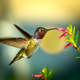 Anna's Hummingbird 2175 by Ken Wade - Animals Birds ( anna's hummingbird )
