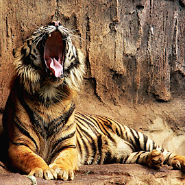 by Edy Herwansyah Jr. - Animals Lions, Tigers & Big Cats