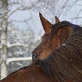 Dakar ER SWB by Cecilia Hjärtmyr - Animals Horses