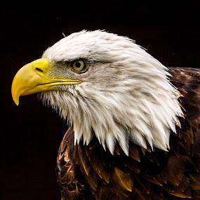 Sam by Garry Chisholm - Animals Birds ( bird, garry chisholm, eagle, nature, wildlife, prey, raptor, bald )