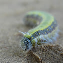 Brown-veined White Larvae