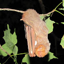Eastern Red Bat