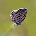 Striped Pierrot Butterfly
