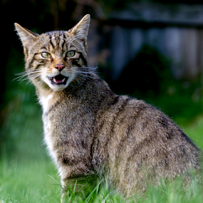 Scottish wildcat by Peter Greenhalgh - Animals - Cats Portraits ( scotland, cat, wildcat, scottish, wildlife )