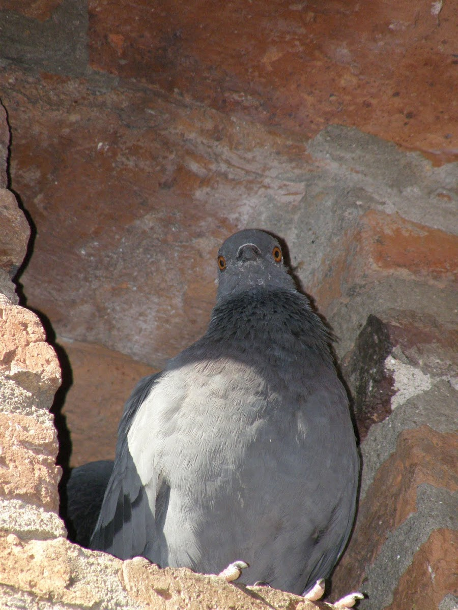 Rock pidgeon