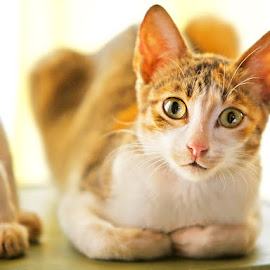 Coco my Pet by Leyon Albeza - Animals - Cats Kittens ( cats, cat, pet )