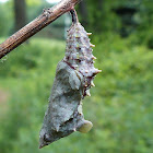 Question Mark Butterfly Chrysalis
