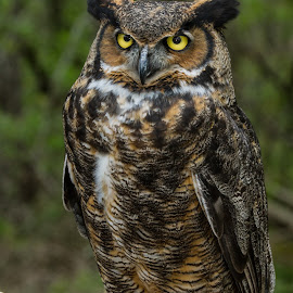 Horned Owl  by Dan Copeland - Animals Birds ( horned owl,  )