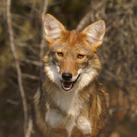 Coyote  by Chris Bartell - Animals Other Mammals ( coyote, curiuos, brown, woods, mammal )