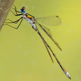 Damsel Fly by Kelly Williams - Animals Insects & Spiders ( macro, damsel fly, image, insect, photography )