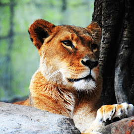 Gorgeous Lioness by Leisa Marie - Animals Lions, Tigers & Big Cats