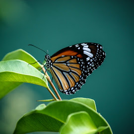 Butterfly by Okanda Wanniarachchi - Animals Insects & Spiders