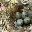 Mocking bird eggs