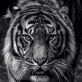Sumatran Tiger by David Whelan - Black & White Animals ( sumatran tiger )